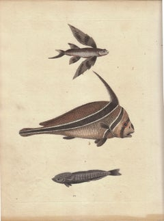 """Vintage Print, Fish, From """"A Natural History of Uncommon Birds..."""""""