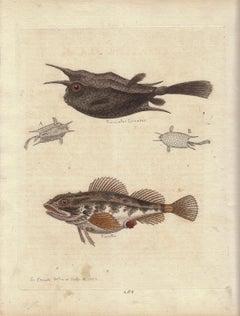 "Vintage Print, Fish,  ""Gleanings of Natural History..."""