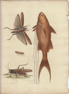 "Vintage Print, Grasshopper, Fish,  ""A Natural History of Uncommon Birds..."""