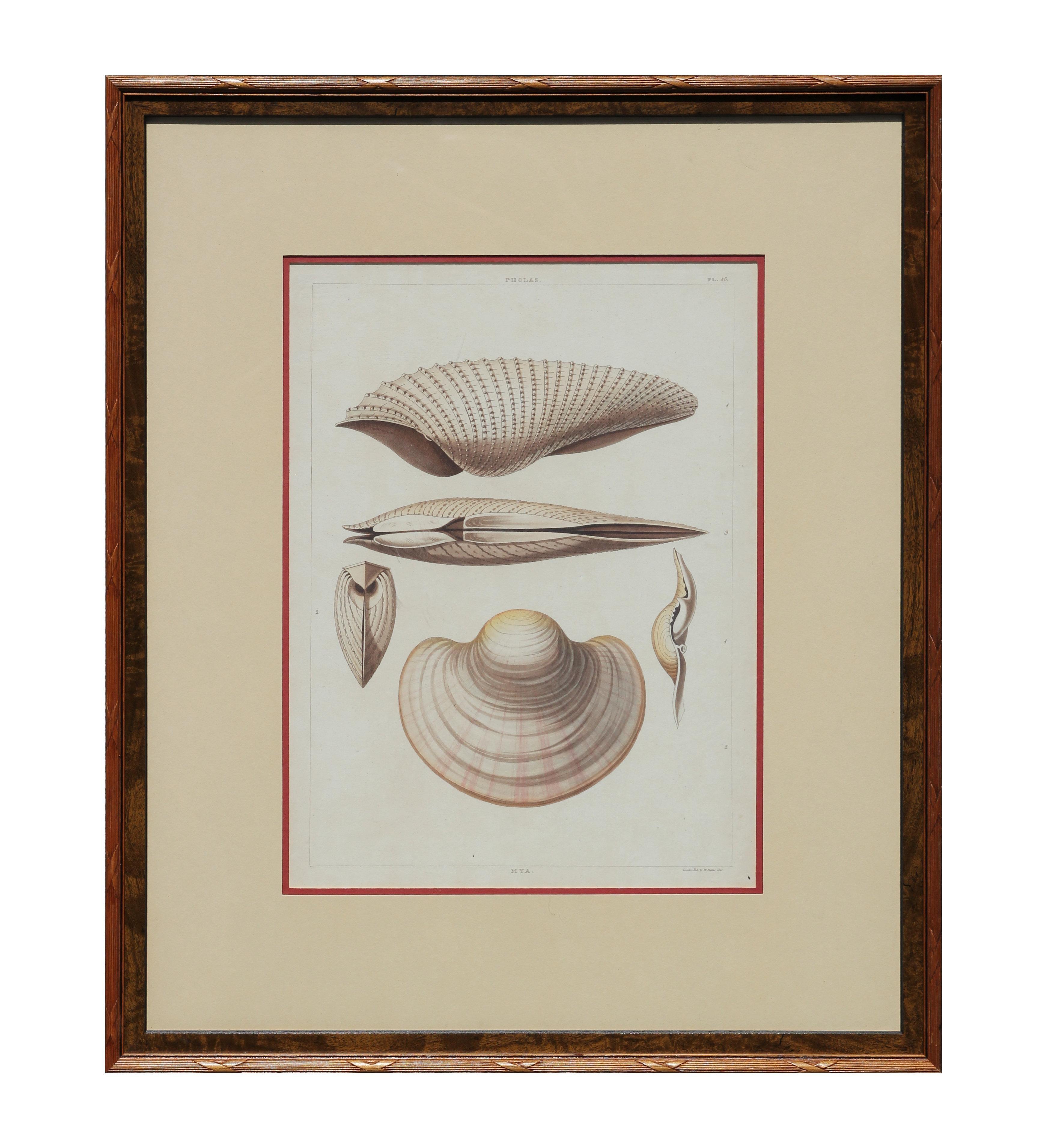 """""""Pholas"""" 18th Century Shell Engravings"""