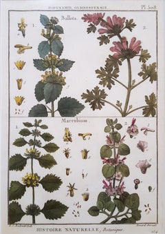 Ballota (Horehound); Marrubium (White Horehound)
