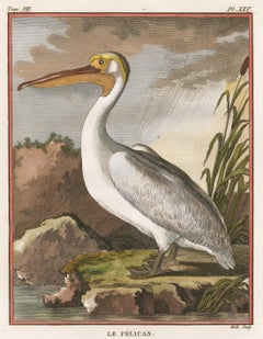 Hand-Colored Pelican Engraving.