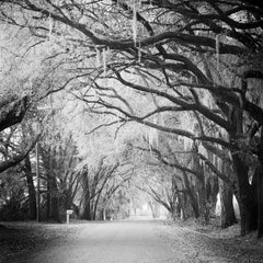 Fairytale Forest, Tree Avenue, Florida, black and white photography, landscapes