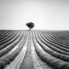 Lonely Tree in Lavender Provence France, black and white photography, landscapes
