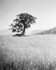 Morning Sun, Single Tree, Bolzano, Italy,  black and white art photo, landscapes