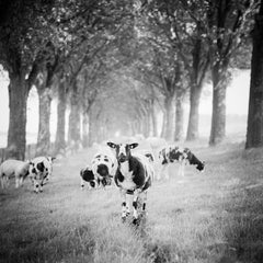 Shaun the Sheep, Tree Avenue contemporary black and white photography landscapes