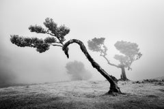 Ancient Laurisilva Forest, curved tree, Portugal, B&W photography, landscape