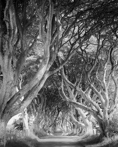 Dark Hedges, tree avenue, mystical forest, black & white photography, landscape