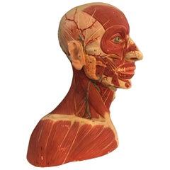 German Anatomical Muscular Bust Model