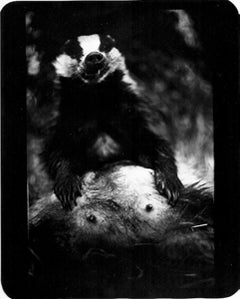 Untitled (Badger) - Black and White, Animal Photography, Film Noir