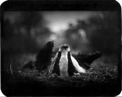 Untitled (Badger on its Back) - Wildlife, Animals Sleeping, Black and White