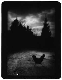 Untitled (Black Cockerel) - Black and White, Animal Photography, Environment