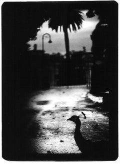 Untitled (Peacock Rome) - Black and White, Animal Photography, Flora and Fauna