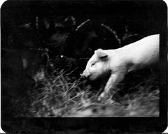 Untitled (Pig) - Animals, Piglet, Black and White, Farmland, Photography