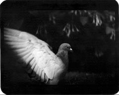 Untitled (Pigeon II) - Black and White, Animal Photography, Contemporary