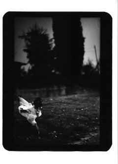 Untitled (White Cockerel) - Black and White, Animal Photography, Contemporary