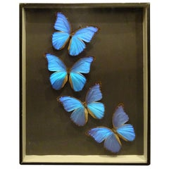 Giant Blue Butterfly Taxidermy Collection Morpho Didius, in Display Case