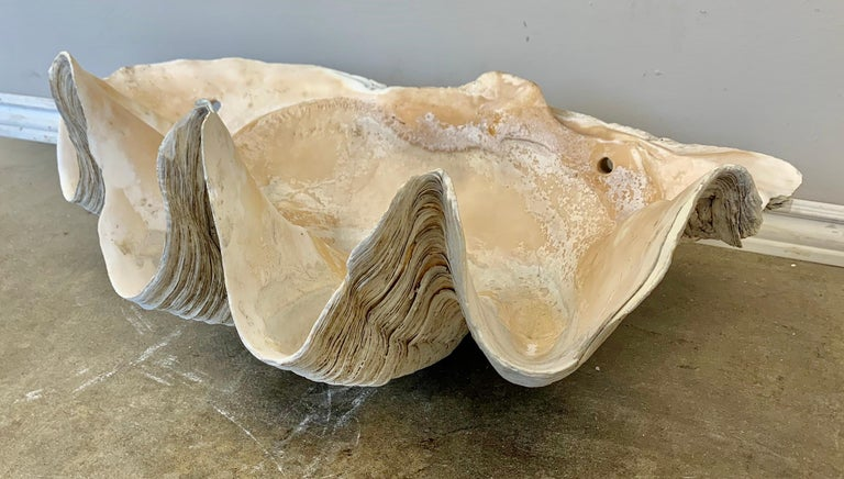 Giant Clam Shell from the South Seas In Distressed Condition For Sale In Los Angeles, CA