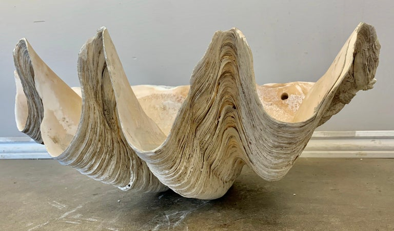 Early 20th Century Giant Clam Shell from the South Seas For Sale