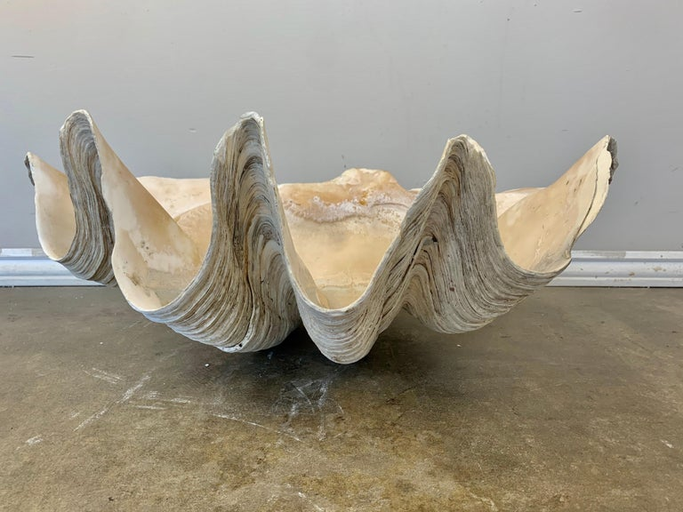 Giant Clam Shell from the South Seas For Sale 3