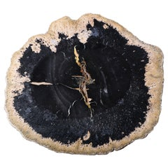 Giant Jet Black Petrified Palm Wood Fossil