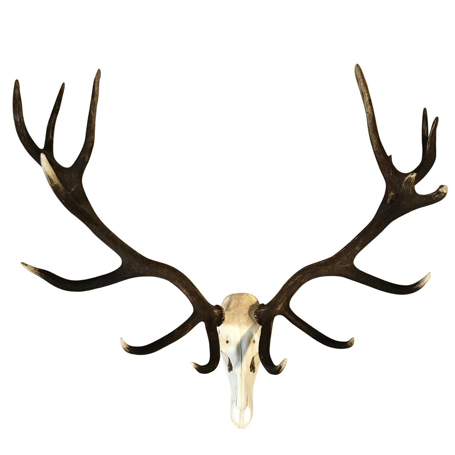 Giant Pair of Antlers of a Hungarian Red Stag