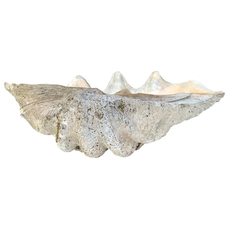 Large Giant South Pacific Tridacna Gigas Clam Shell with High Elbows For Sale 5