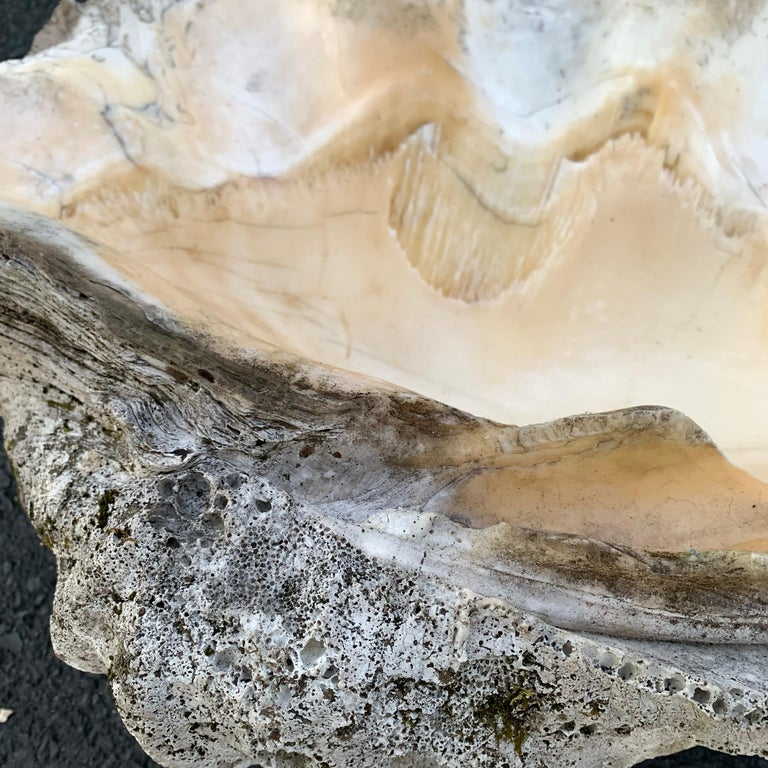 Large Giant South Pacific Tridacna Gigas Clam Shell with High Elbows For Sale 6