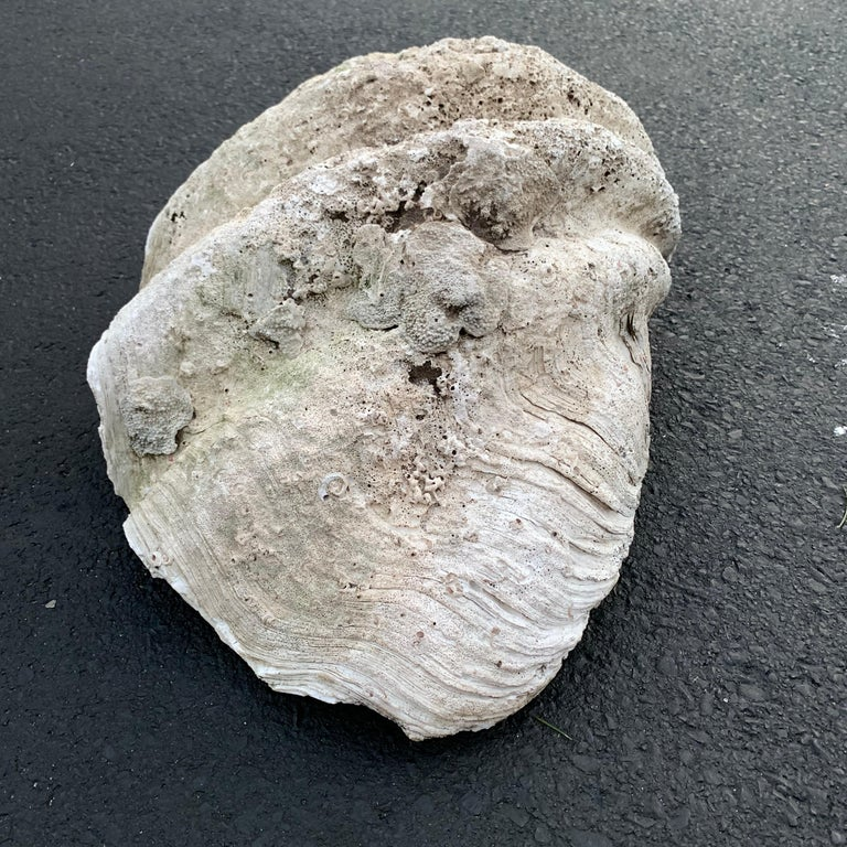 Large Giant South Pacific Tridacna Gigas Clam Shell with High Elbows For Sale 13