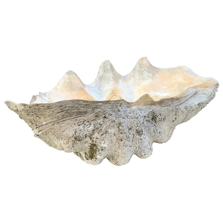 Large Giant South Pacific Tridacna Gigas Clam Shell with High Elbows For Sale 1