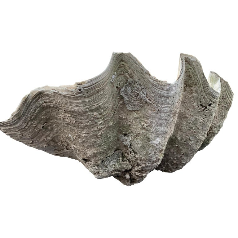 Large Giant South Pacific Tridacna Gigas Clam Shell with High Elbows For Sale 4