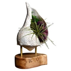 Giant Whelk Conch Sea Shell Living Sculpture & Air Plant on Spalted Maple Base