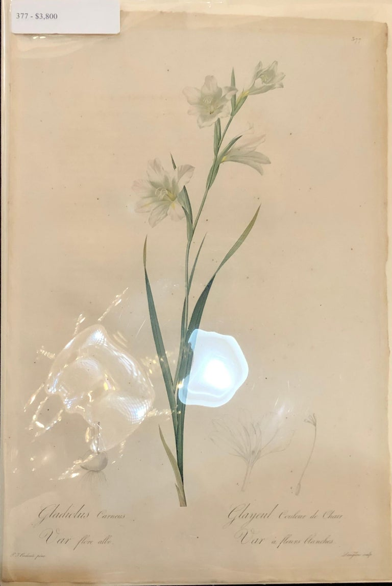 Gladiolus Carnelus Hand Painted Colored Engraving Signed P.J. Redoute For Sale 6