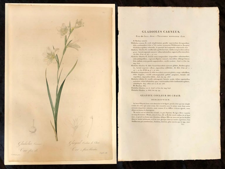 Gladiolus Carnelus hand painted colored engraving signed P.J. Redoute. 