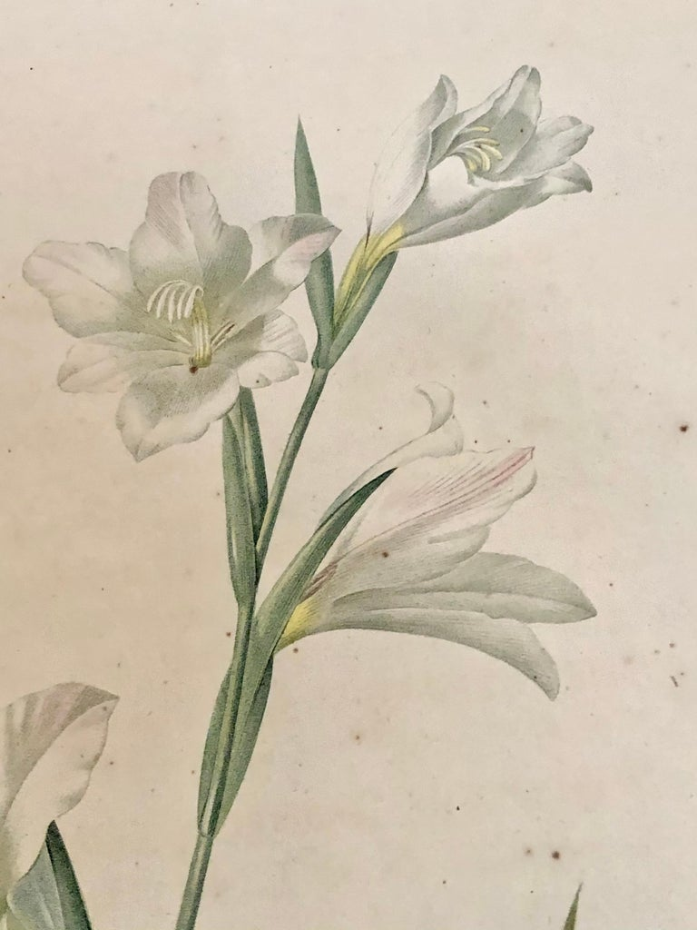 19th Century Gladiolus Carnelus Hand Painted Colored Engraving Signed P.J. Redoute For Sale