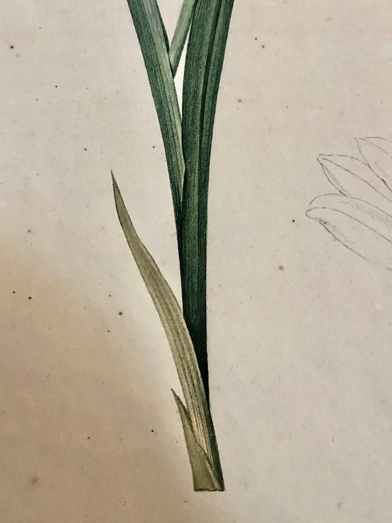 Gladiolus Carnelus Hand Painted Colored Engraving Signed P.J. Redoute For Sale 1