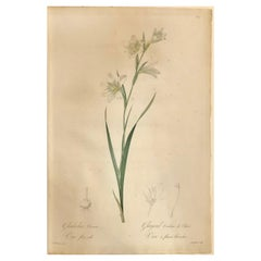 Gladiolus Carnelus Hand Painted Colored Engraving Signed P.J. Redoute