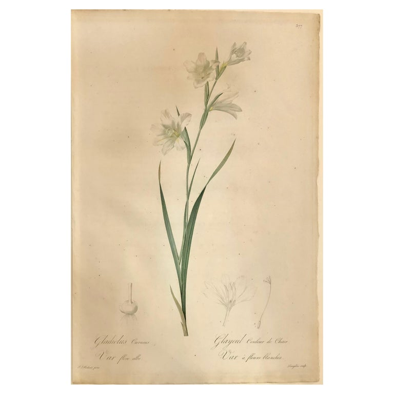 Gladiolus Carnelus Hand Painted Colored Engraving Signed P.J. Redoute For Sale