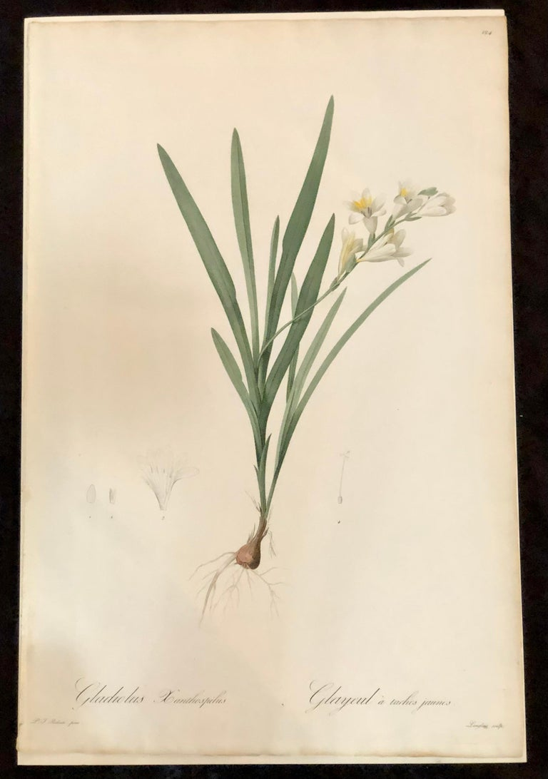 Gladious Xanthospilus hand colored engraving signed and numbered P.J. Redoute. One of a set of large and impressive well painted set of nine floral works each having history and literature on reverse.