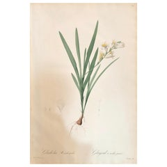Gladious Xanthospilus Hand Colored Engraving Signed P.J. Redoute & Numbered