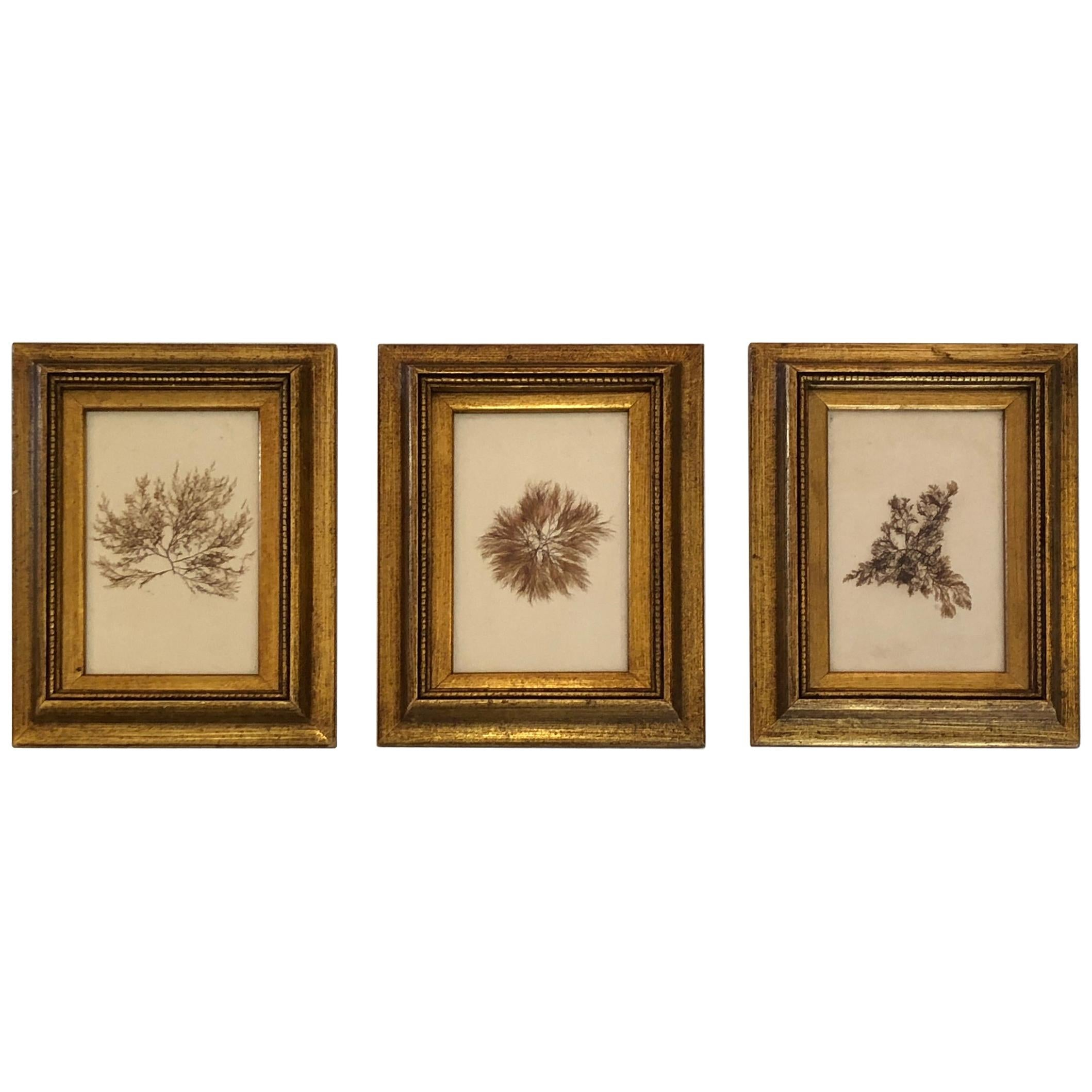 Gorgeous Trio of 19th Century Pressed Organic Botanicals in Giltwood Frames
