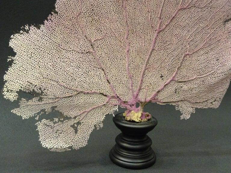 Gorgonian Flabellum Palerose on Back Gooden Stand 2