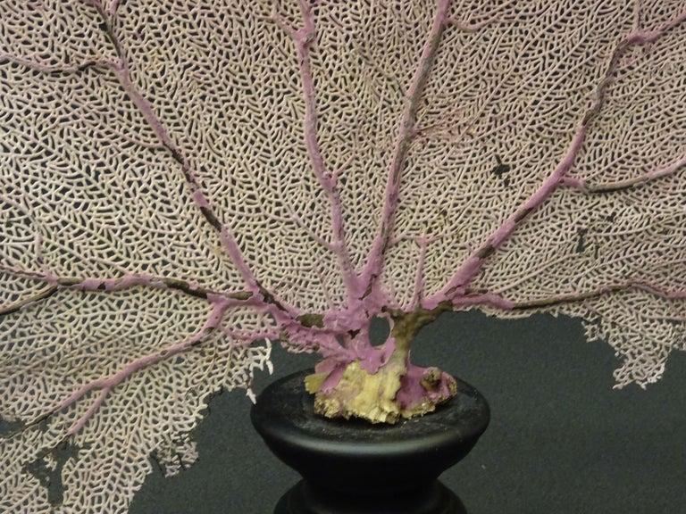 Gorgonian Flabellum Palerose on Back Gooden Stand 3