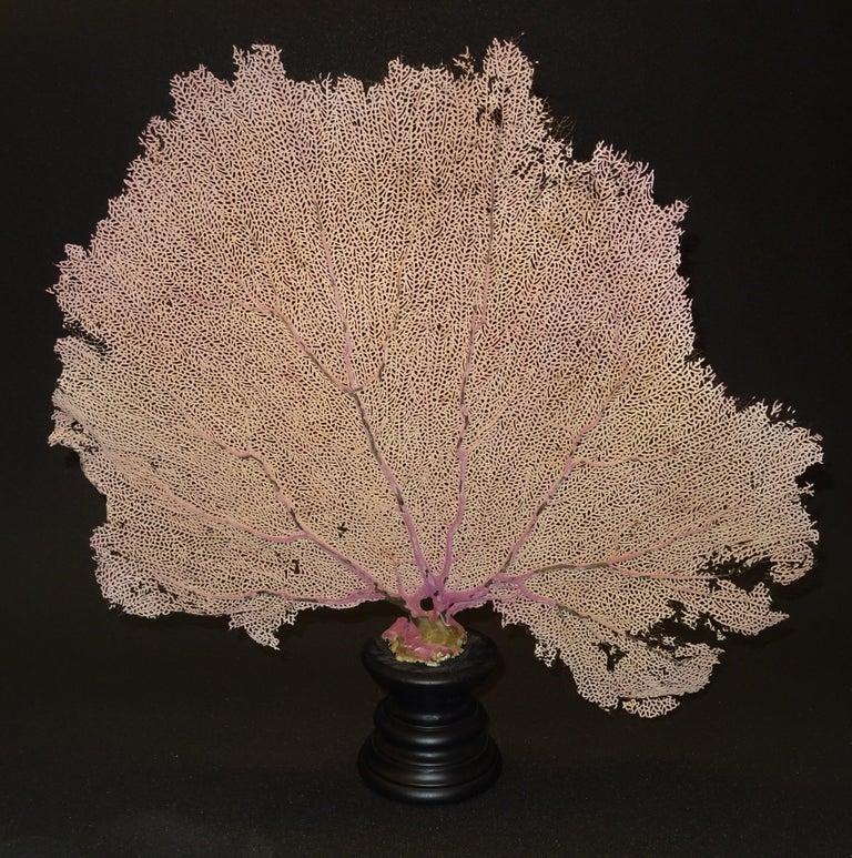 Gorgonian Flabellum Palerose on Back Gooden Stand 7