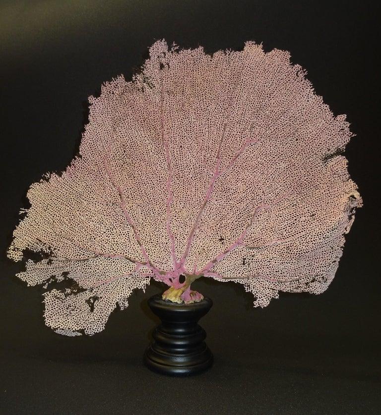 Gorgonian Flabellum Palerose on Back Gooden Stand 9
