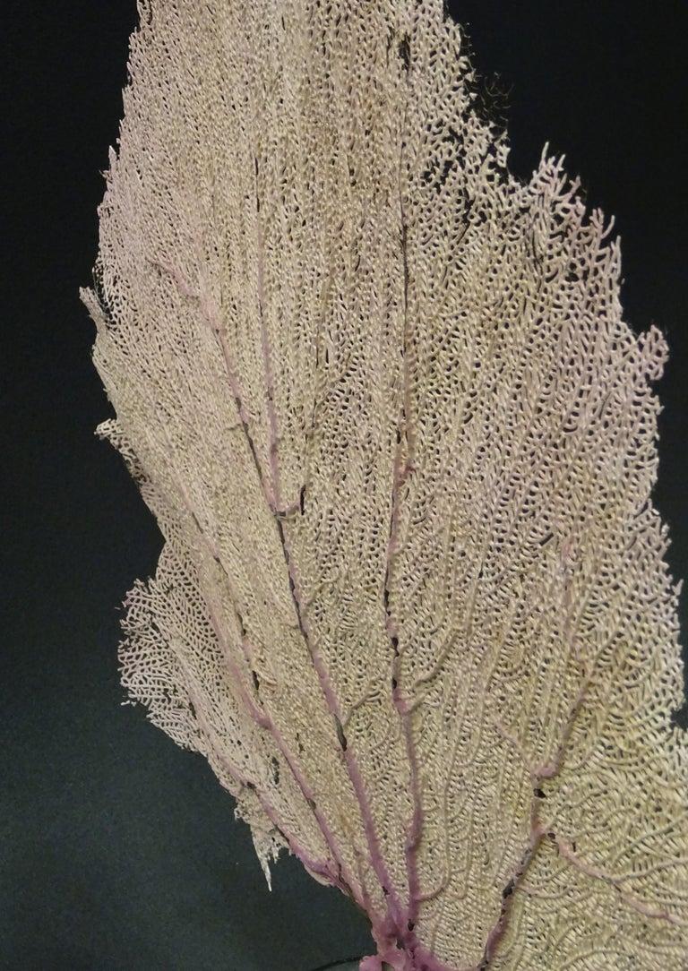 Gorgonian Flabellum Palerose on Back Gooden Stand 11