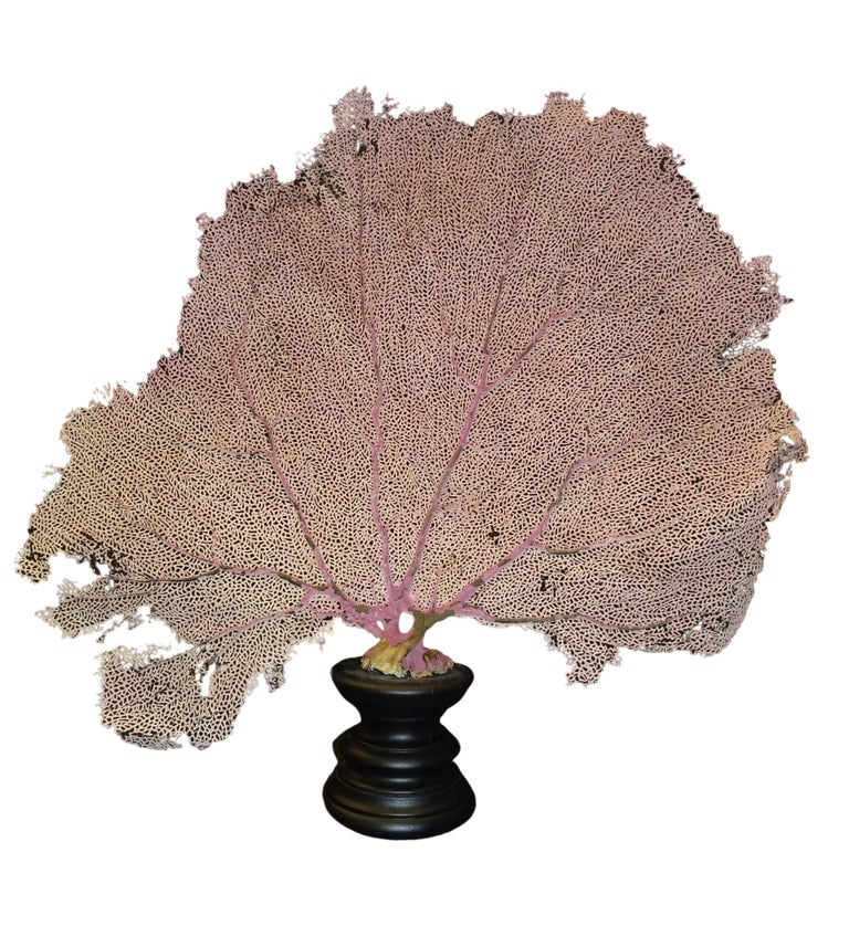 Amazing sea-fan, kept dry, Gorgonia flabellum, measurements 54 x 55 x 10 cm. Beautiful Gorgonia sea-fan in pale rose and pale yellow colors on a black stand 10 x 10 cm. Refined piece in any interior, a real eyecatcher!!
