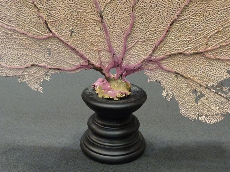 Gorgonian Flabellum Palerose on Back Gooden Stand 12