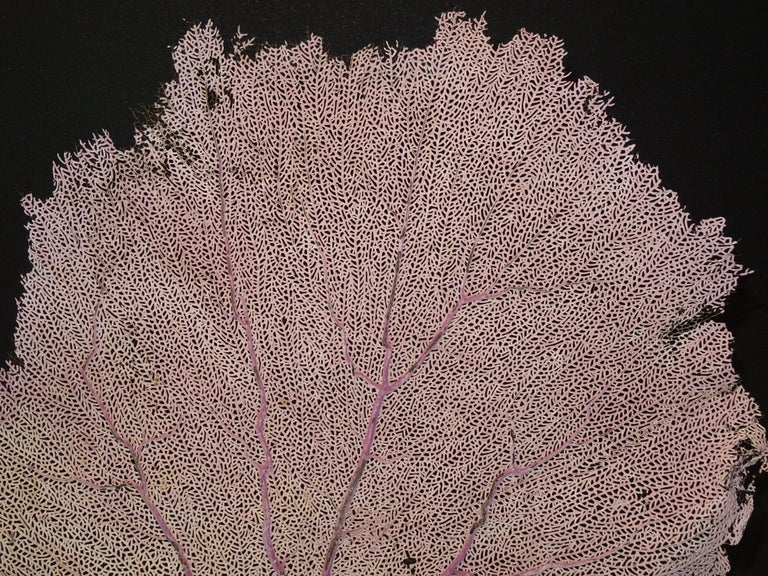 Other Gorgonian Flabellum Palerose on Back Gooden Stand