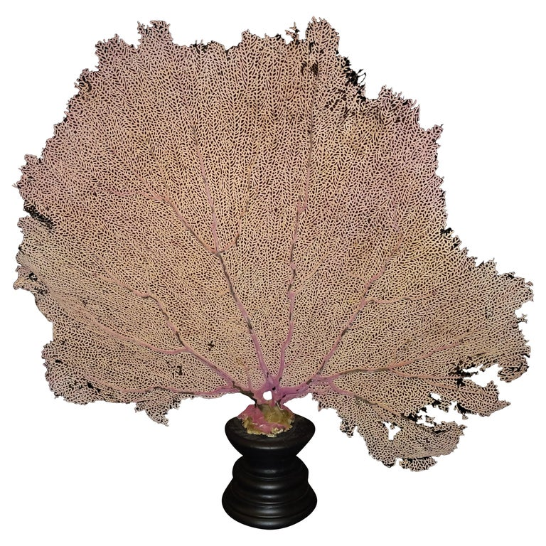 Gorgonian Flabellum Palerose on Back Gooden Stand